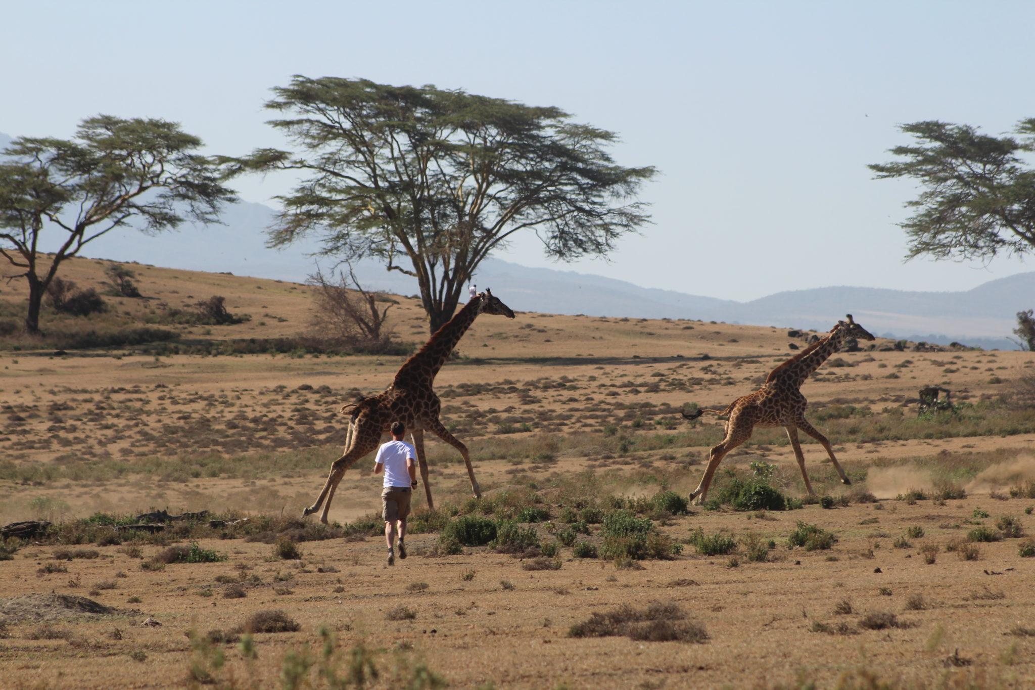 course girafes