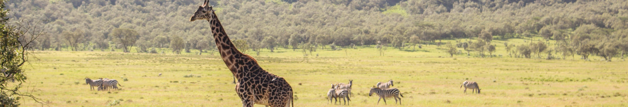 girafes zèbres trail
