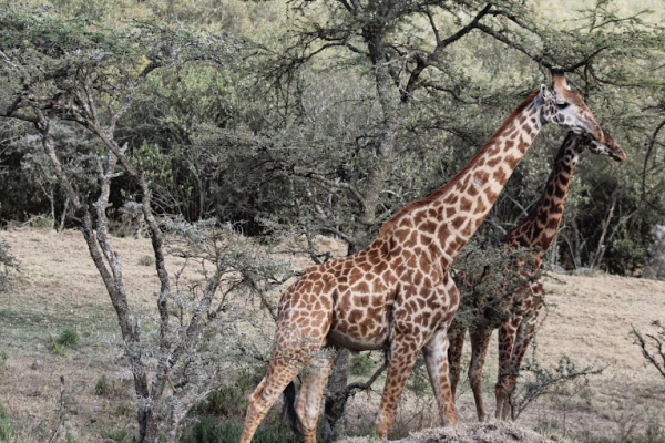 giraffes kenya nature