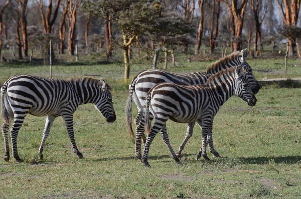 zebres kenya trail