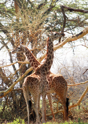 girafes kenya trail