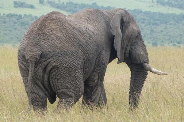 éléphants trail kenya