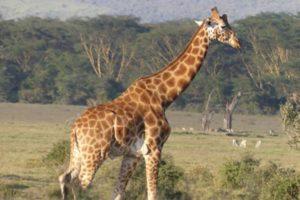 Kimbia Kenya Safari Nakuru